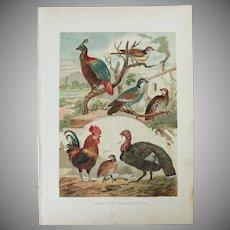 19th Century Print of Birds - Galliformes Birds- 1881 Zoology Polychrome Lithograph