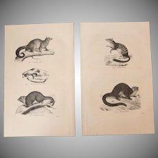19th Century Set of two Prints of Opossum, Numbat, Petaurus - 1860's Zoology Steel Engraving Marsupials