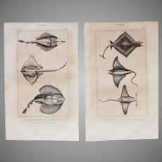 19th Century Set of 2 Fish Prints with Rays- 1836 Zoology Steel Engraving