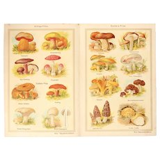 Art Nouveau Print about Mushrooms - 1900's Polychrome Lithograph