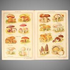 Art Nouveau Print about Mushrooms - 1900's Polychrome Lithograph