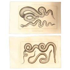 19th Century Set of 2 Snake Prints - 1836 Zoology Steel Engraving
