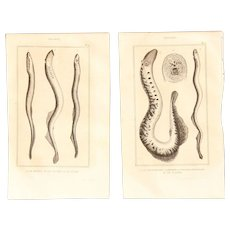 19th Century Set of 2 Fish Prints with lamprey eels - 1836 Zoology Steel Engraving