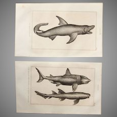 19th Century Set of 2 Fish Prints with Sharks - 1836 Zoology Steel Engraving