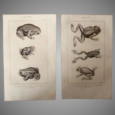19th Century Set of 2 Frog Prints - 1836 Zoology Steel Engraving