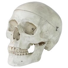 Vintage Anatomical Model of a Human Skull - Life Size Cranium