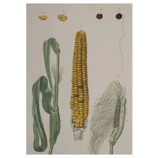 18th Century Floral Copper Engraving of Corn out of the Herbarium of ELIZABETH BLACKWELL HANDCOLORED - Red Tag Sale Item