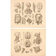 Set of Two 1850's Original Antique steel engravings - Human Anatomy