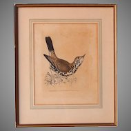 1793 Hand Colored BIRD Copper Engraving of Missel Thrush by W. Lewin