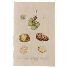18th Century Floral Copper Engraving of Potatoes out of the Herbarium of ELIZABETH BLACKWELL HANDCOLORED