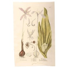18th Century Floral Copper Engraving of Autumn Crocus or Meadow Saffron out of the Herbarium of ELIZABETH BLACKWELL HANDCOLORED