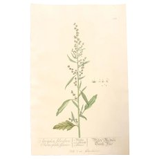 18th Century Floral Copper Engraving of Atriplex Silvestris Chenopodii Species out of the Herbarium of ELIZABETH BLACKWELL HANDCOLORED  atriplex silvestris chenopodii species - Red Tag Sale Item