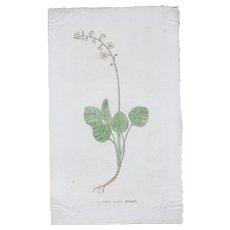 16th Century original handcolored Woodcut of Plant (Leonhart Fuchs / New Kreüterbuch)