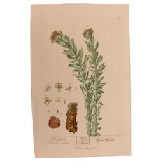 18th Century Floral Copper Engraving of Roseroot / Golden Root out of the Herbarium of ELIZABETH BLACKWELL HANDCOLORED - Red Tag Sale Item