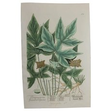 18th Century Floral Copper Engraving of Contrayerba secunda species out of the Herbarium of ELIZABETH BLACKWELL HANDCOLORED