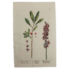 18th Century Floral Copper Engraving of Thymelaea laureola out of the Herbarium of ELIZABETH BLACKWELL HANDCOLORED - Red Tag Sale Item