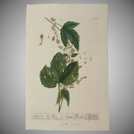 18th Century Floral Copper Engraving of Hops out of the Herbarium of ELIZABETH BLACKWELL HANDCOLORED