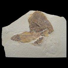 Wonderful 50 Million year-old Fossil Fish Plate