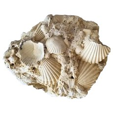 Striking Pliocene Fossil Plate of Pecten Shells