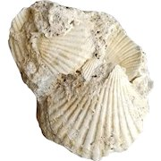 Nice Small Cluster of Pliocene-age Pecten Shell Fossils