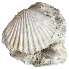 Pliocene-age Pecten Shell Fossil With Display Stand