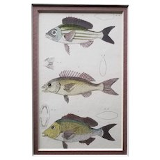 Set of Four Hand-Colored Cuvier Fish Engravings, 1834