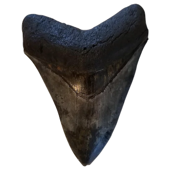 Huge Megalodon Shark Tooth From Offshore Florida