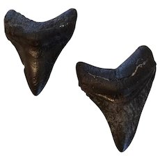 Two Megalodon Shark Teeth From Offshore Florida