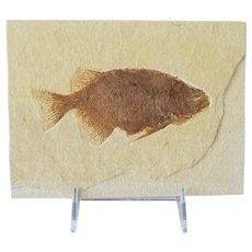 Striking Fossil Fish Specimen 50 Million Years Old