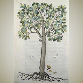 "Leonhart Fuchs (1501-66); original folio woodcut from the ""New Kreüterbuch"" - Oak Tree - 1543"