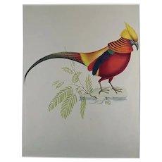 Giuseppe Troni (1st half 19th Century) - Golden Pheasant - Large format gouache