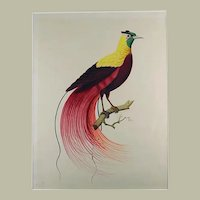 Giuseppe Troni (ca 1800) - Bird of Paradise - large format gouache