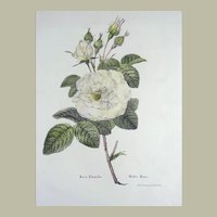 Pierre Geel after Burggraaff - Large folio stone lithograph - White Rose - 1836