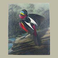 Walter Linsenmaier - original coloured Pencil Drawing - Ornithology Puffbird - 1945 c