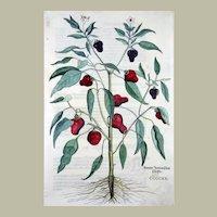"Leonhart Fuchs (1501-66) - Chili Pepper - Peperoni - folio woodcut ""New Kreüterbuch"" 1543"