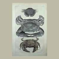Maria Sybilla Merian (1647-1717) - Large folio copper engraving, hand coloured - Crab - 1741