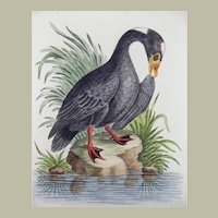 1749 G. E. Edwards - Great Black Duck of Hudson's Bay Canada - 1749
