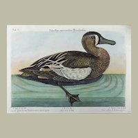 Mark Catesby (1683-1749) - AMERICAN White-Face Teal Querquedula - Ornithology - 1749