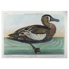 Mark Catesby (1683-1749) - AMERICAN White-Face Teal Querquedula - Ornithology - 1749
