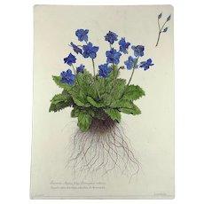 Nicholas Robert (1610-1684) - Sanicula Alpina - Botanical Rarissimum 54 cm