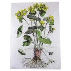 Nicholas Robert (1610-1684) - Soucy d'eau - Botanical Rarissimum 54cm