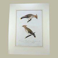 J. Susemihl del. - Large folio - Waxwing - original colour print - 1837