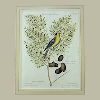 Mark Catesby (1679-1749) (after), Seligmann; Folio - AMERICAN GOLDFINCH - 1751