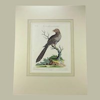 George Edwards (1694-1773) (after), Seligmann; Folio - EXOTIC CUCKOO - 1751