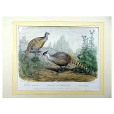 Th. Deyrolle (1844-1923) - Wallich's Pheasant - Folio hand coloured lithograph