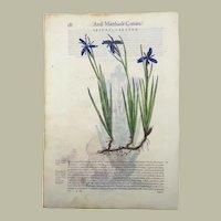 Giorgio Liberale (1527–c.79) ; W. Meyerpeck - Two folio woodcuts - IRIS - Botany - hand colour - 1562