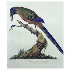 John Latham (1740-1837) - Brazilian Motmot - Original hand coloured engraving 1785