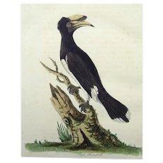 John Latham (1740-1837) - Pied Hornbill - Original hand coloured engraving 1785