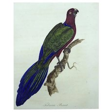 John Latham (1740-1837) - Tabuan (King) Parrot - Original hand coloured engraving 1785