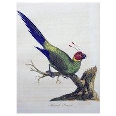 John Latham (1740-1837) - Horned Parrot - Original hand coloured engraving 1785